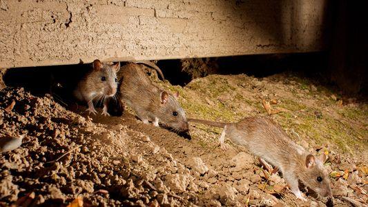 Según un estudio, las ratas recuerdan quiénes son buenos con ellas, y devuelven el favor