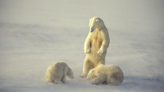 La carne de ballena ayudó a los osos polares a sobrevivir el último calentamiento