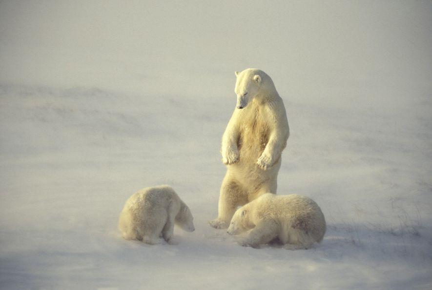 Un oso polar observa a sus crías en la Bahía de Hudson en Manitoba, Canadá. La ...