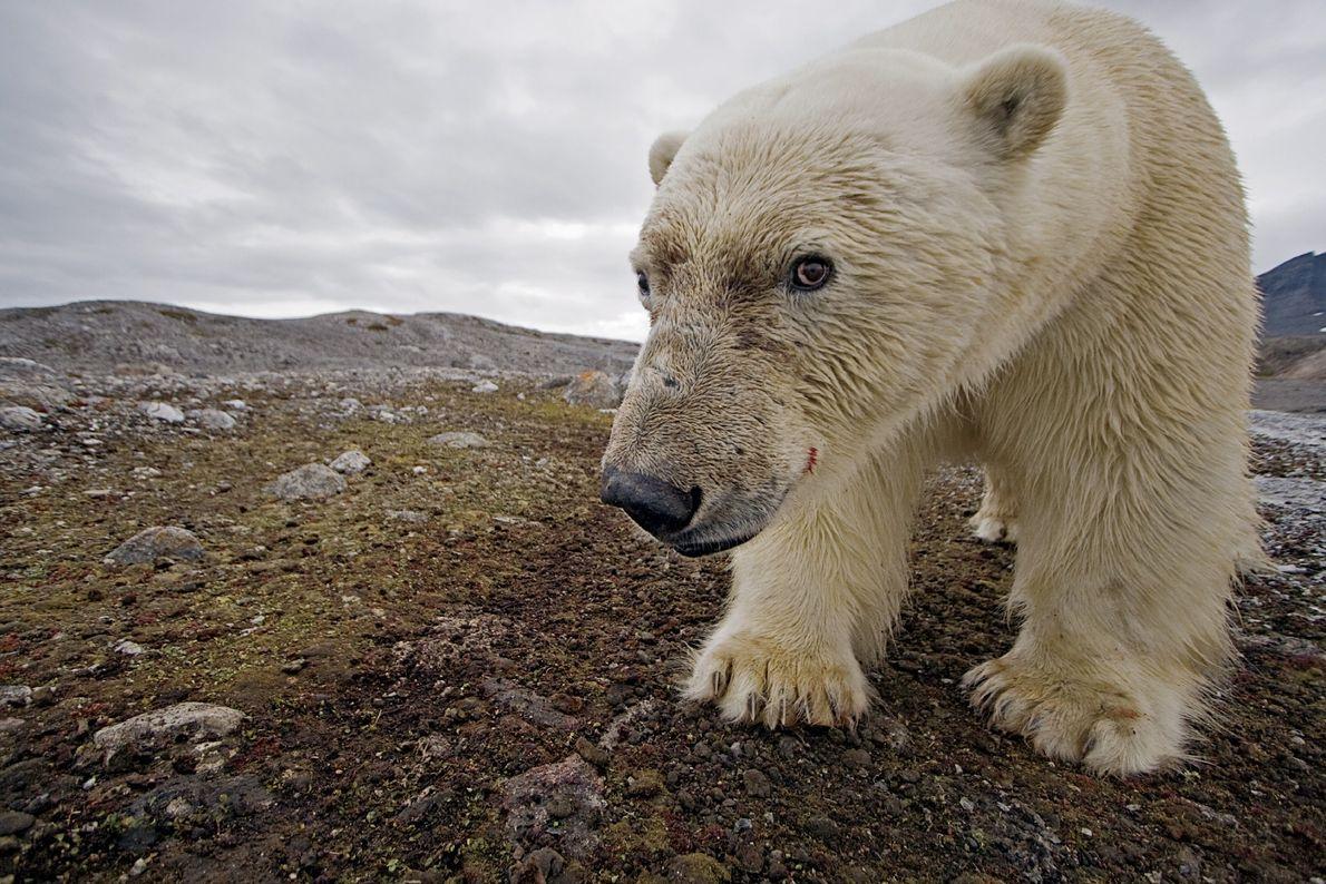 Gracias a una cámara trampa, un oso polar se hace sin querer un autorretrato en Svalbard.