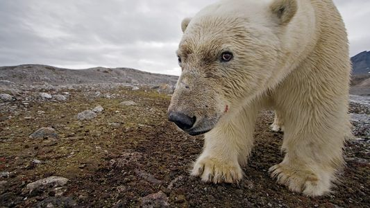 Espectaculares fotos de osos polares