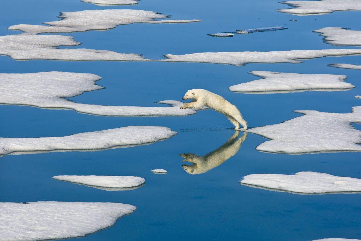 Un oso polar salta entre témpanos de hielo cerca de la isla de Spitsbergen en Noruega ...
