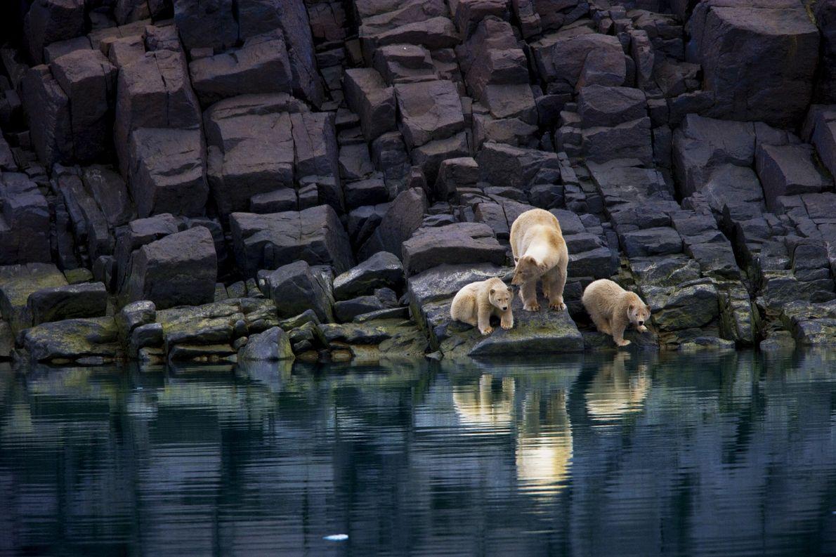 Un oso polar y sus crías están varados en una orilla sin hielo en Svalbard.