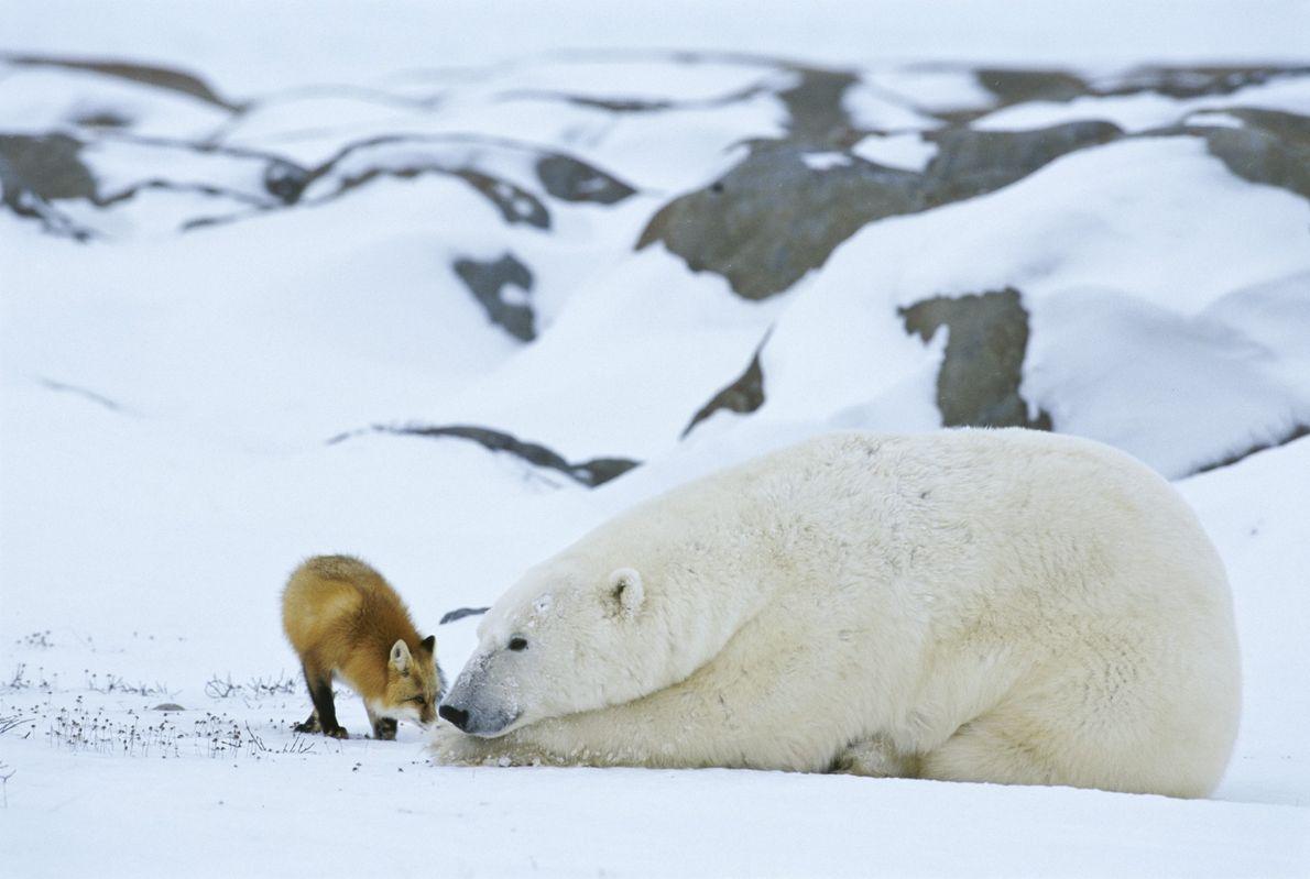 Un zorro rojo roza su hocico con el de un oso polar en la Bahía de ...