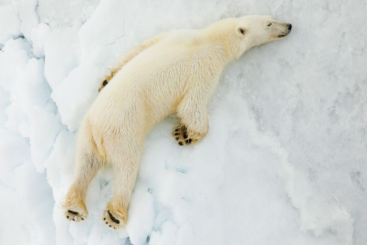 Un oso polar duerme en el hielo en Svalbard.