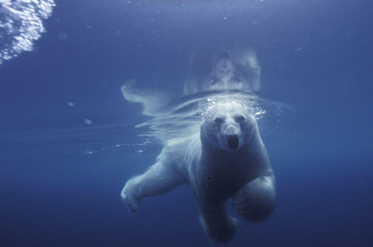 Un oso polar nada en Admiralty Inlet en Nunavut, Canadá.