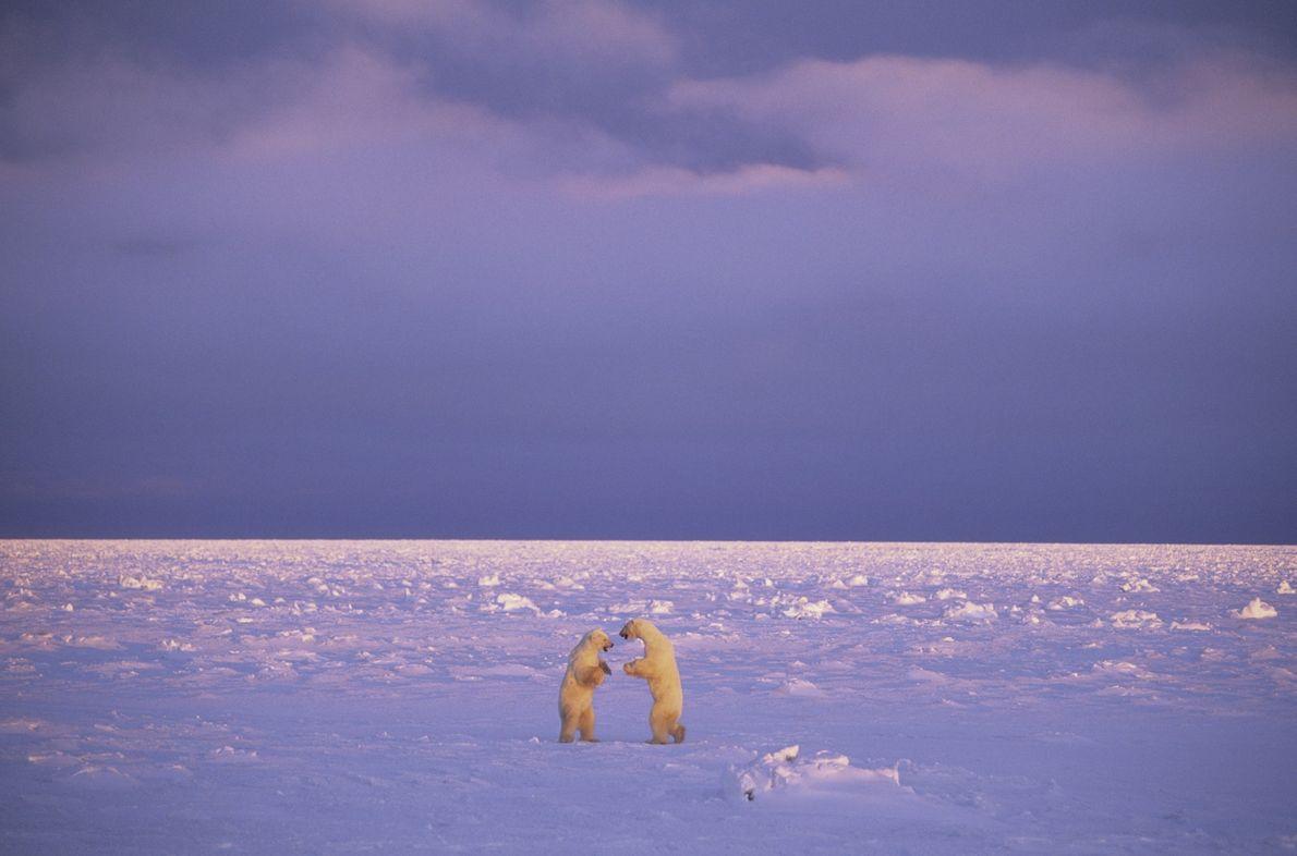 Dos osos polares se enfrentan en Churchill, Manitoba, en la región norte de Canadá.