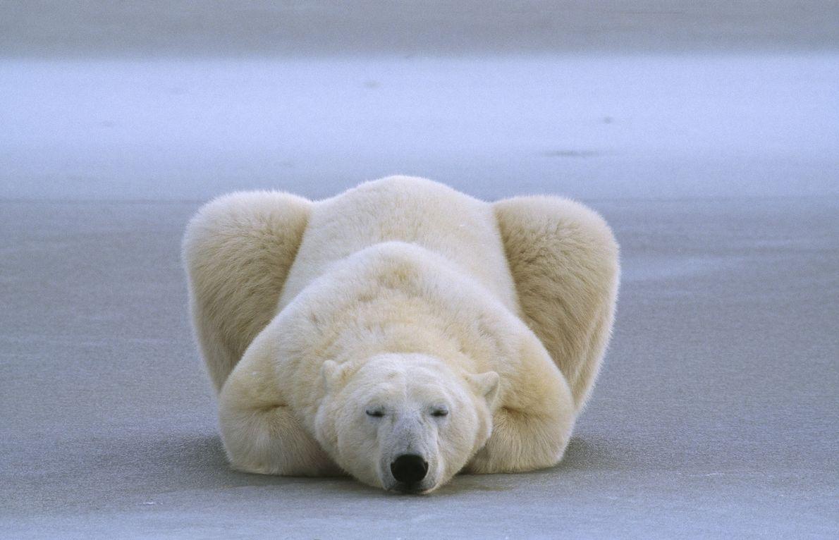 Un oso polar duerme con sus patas dobladas debajo de su cuerpo.