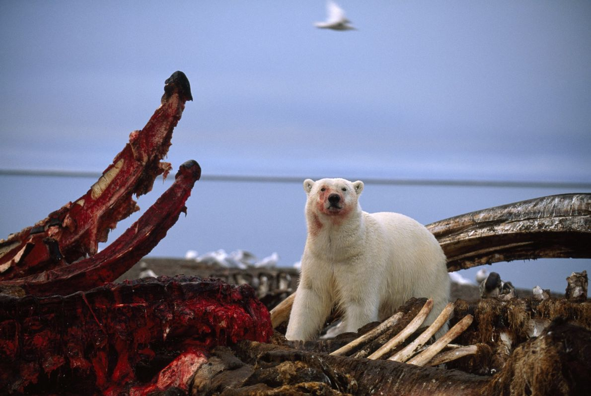 Un oso polar se para sobre un cadáver de ballena parcialmente comido en Kaktovik, Alaska.