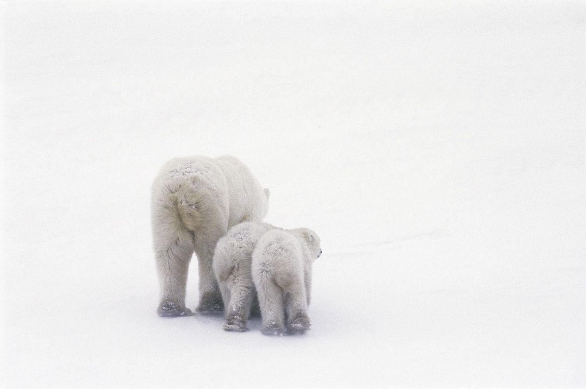 Un oso polar y sus crías se alejan caminando de la cámara en Manitoba.