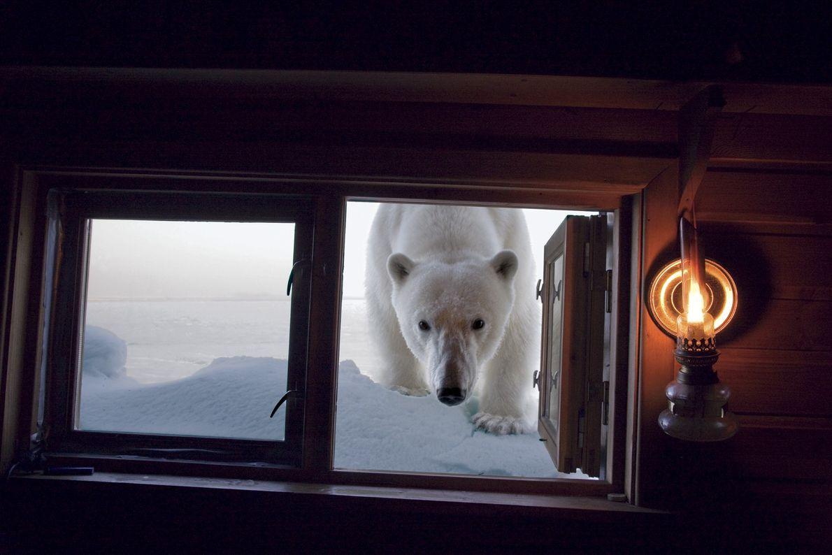 Un oso polar inspecciona el camarote del fotógrafo Paul Nicklen. Este lugar fue su casa mientras ...