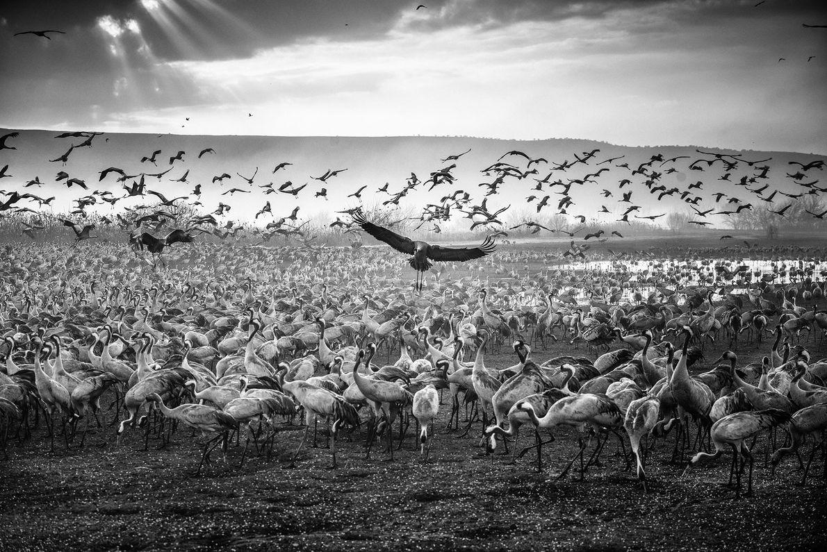 """""""El sol se eleva sobre miles de grullas en la Reserva Natural Hula"""". – Keren Or ..."""