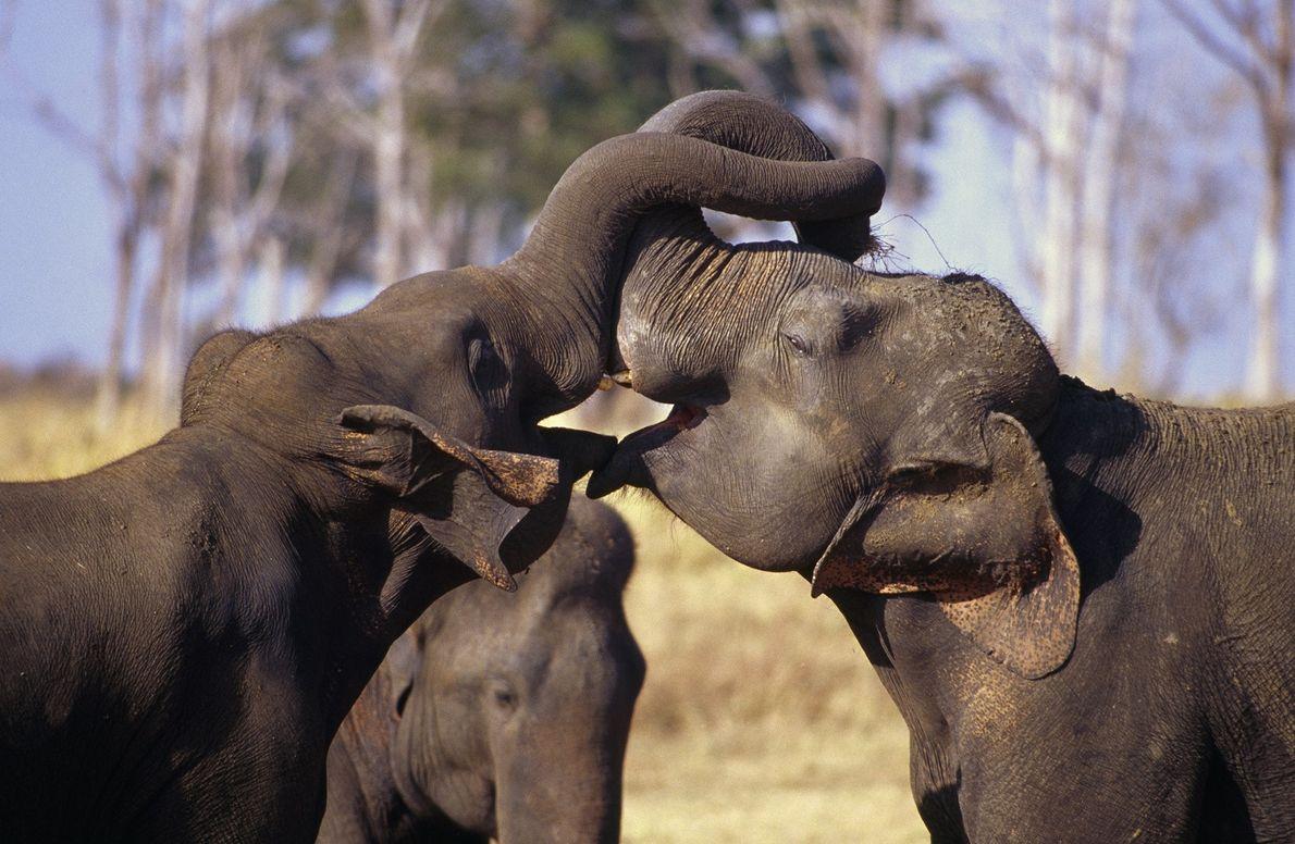 Estos elefantes se bloquean las trompas en medio de una pelea amistosa en el Parque Nacional ...
