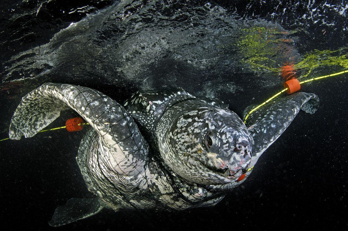 Las tortugas laúd corren múltiples riesgos: pueden enredarse con los aparejos de pesca, están expuestas al ...