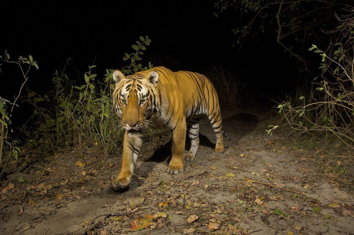 Un tigre de Bengala frente a una cámara trampa en el Parque Nacional Kaziranga de la ...