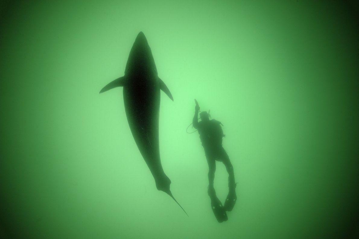 Lamentablemente, el atún rojo del Atlántico se considera una delicia en todo el mundo. Como resultado, ...