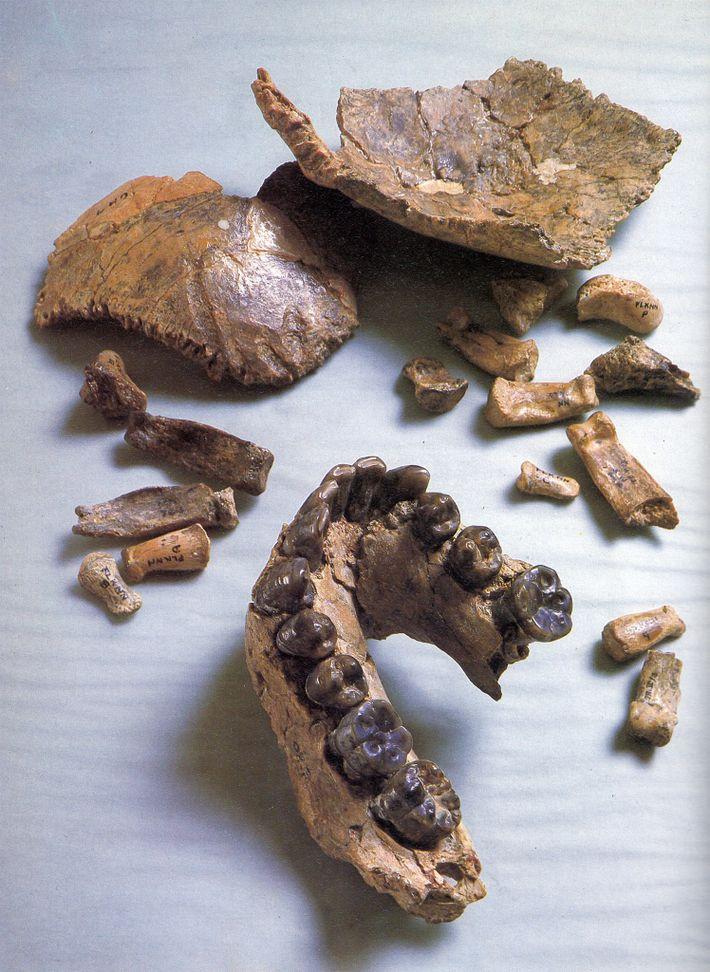 fosil_etiopia_mandibula
