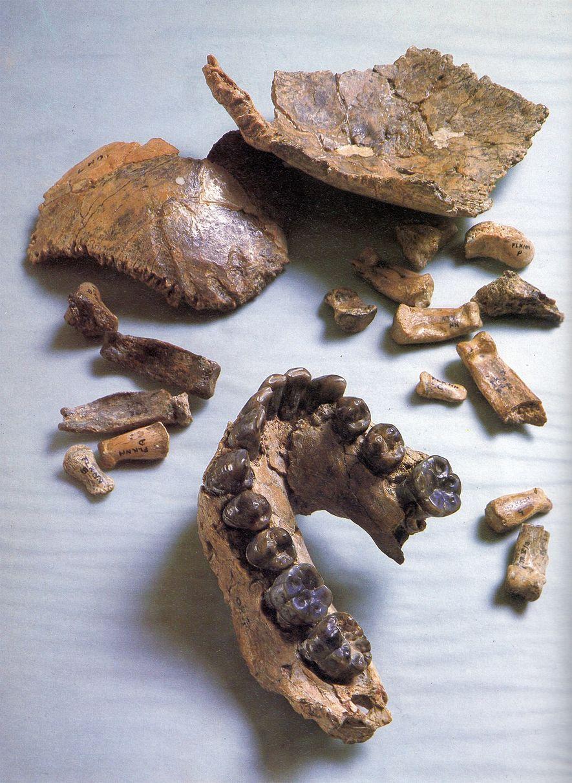 Una nueva reconstrucción de esta calavera fósil de Homo habilis, llamada Olduvai Hominid 7, presenta una ...