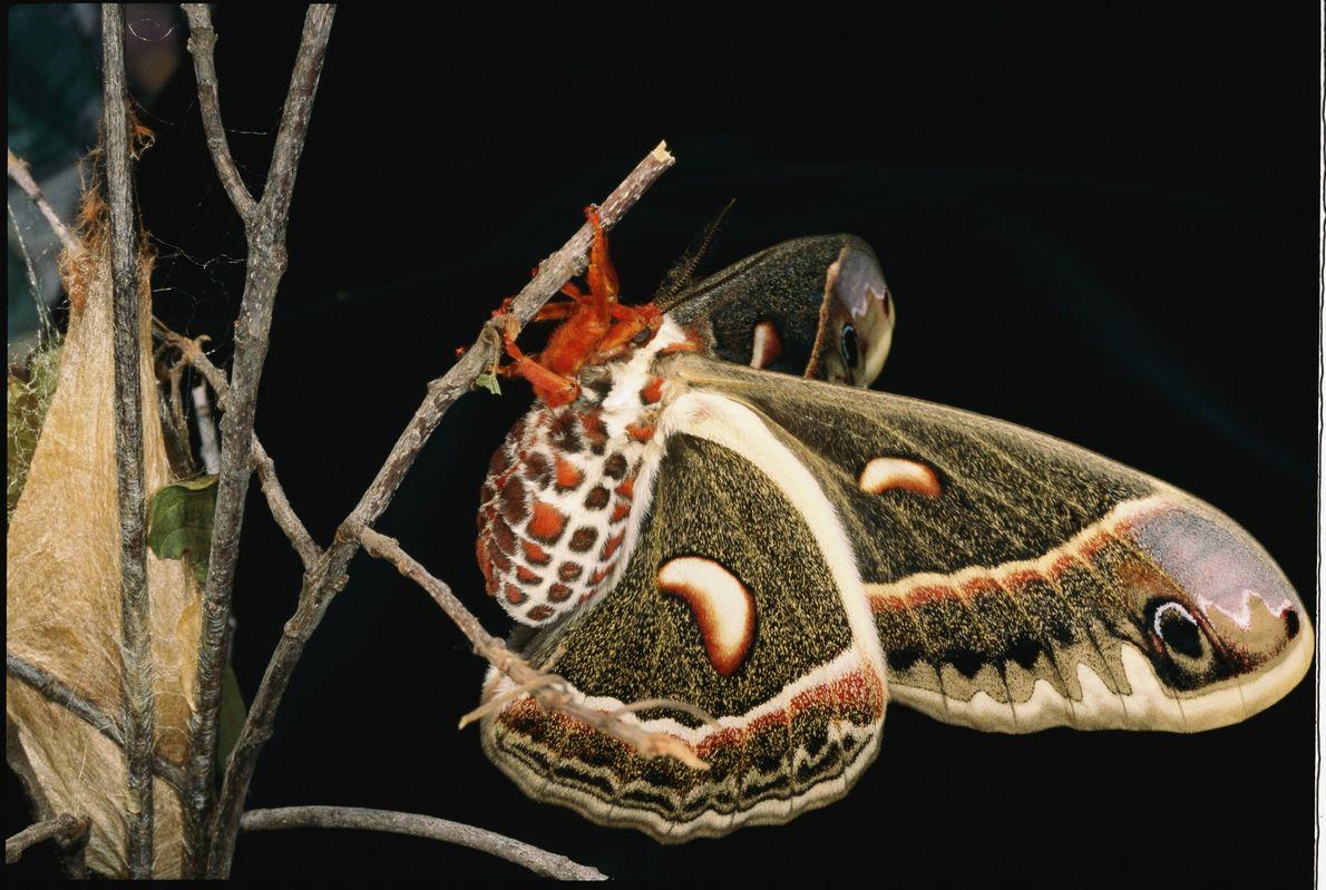 Después de salir de su capullo (izquierda), esta polilla de cecropia hembra, Hyalophora cecropia, descansa mientras ...