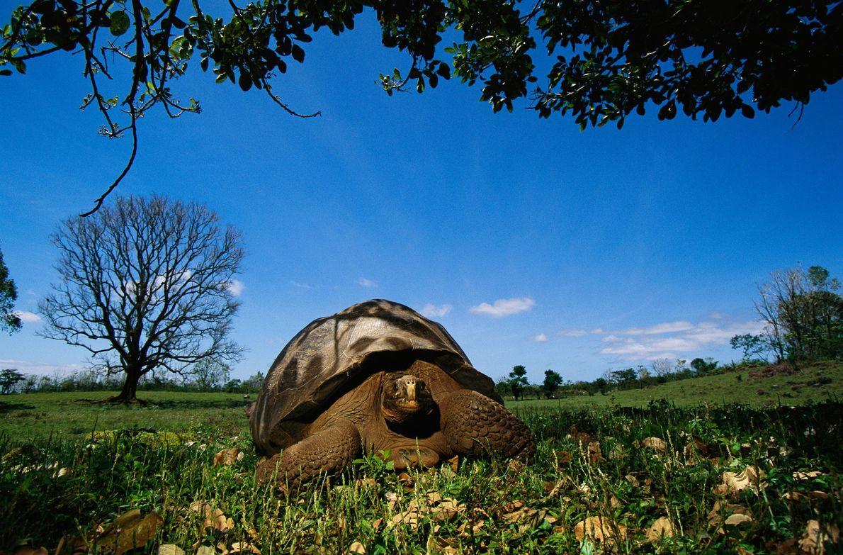 Las tortugas de Galápagos de las Islas Galápagos son las tortugas más grandes de la Tierra. ...