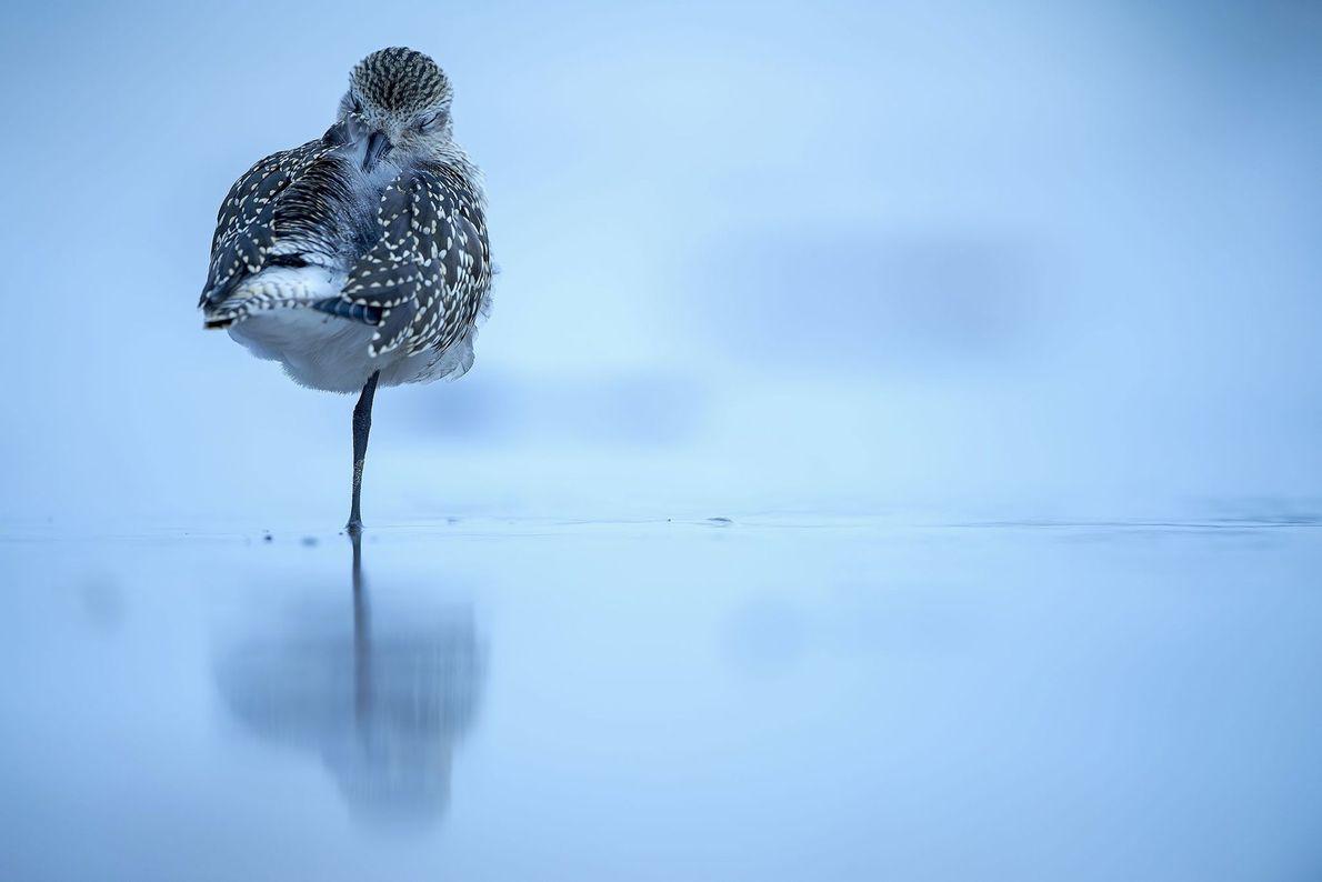 """""""Un chorlito gris descansa en una playa después de una marea alta. Estas aves pasan unos ..."""