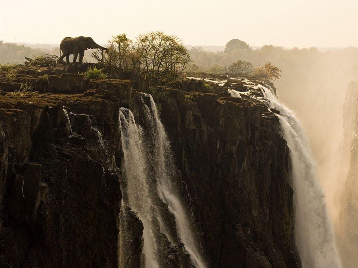 Los elefantes africanos son la principal especie autóctona de los parques nacionales a ambos lados de ...
