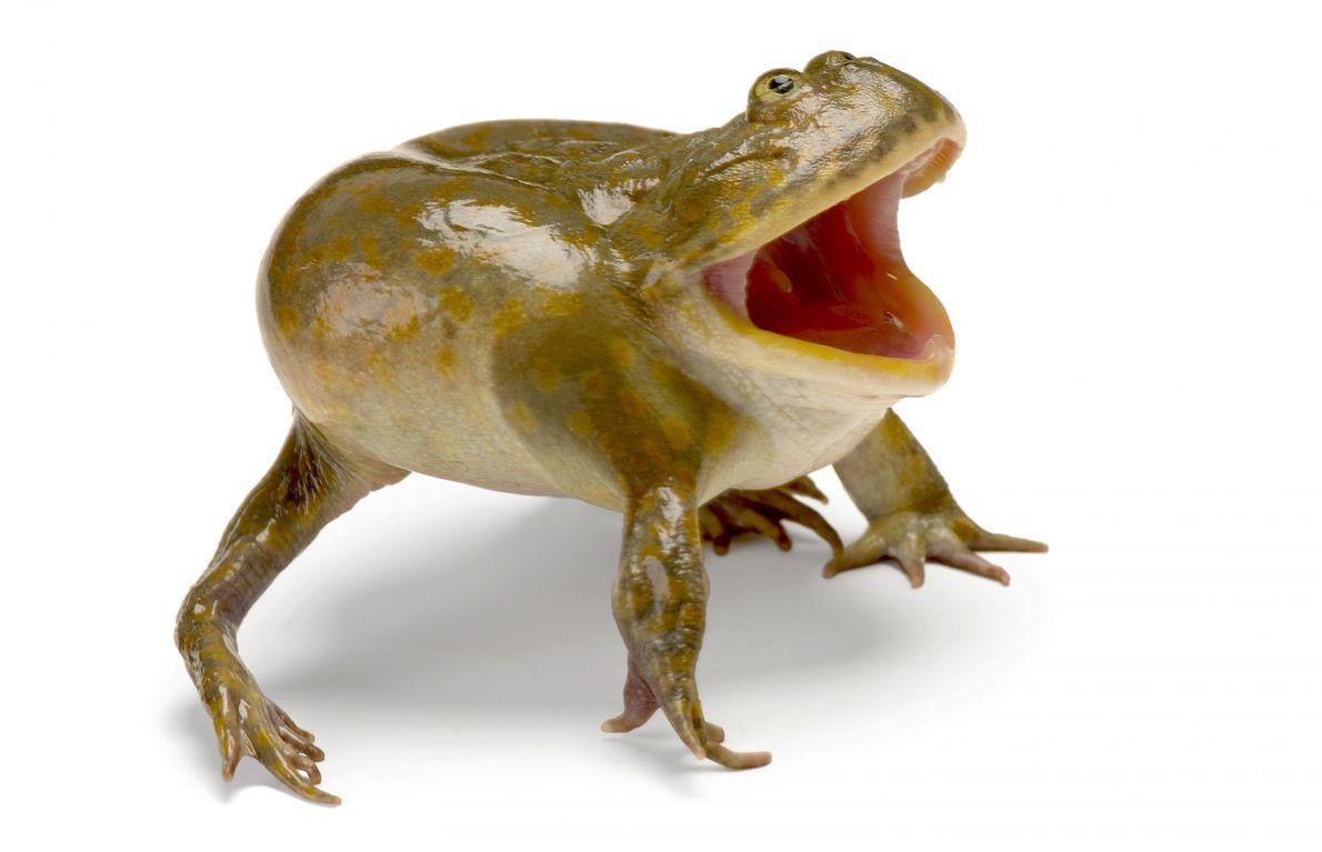 Estado de conservación: riesgo mínimo Durante la temporada de lluvias, el Lepidobatrachus laevis de América del Sur ...