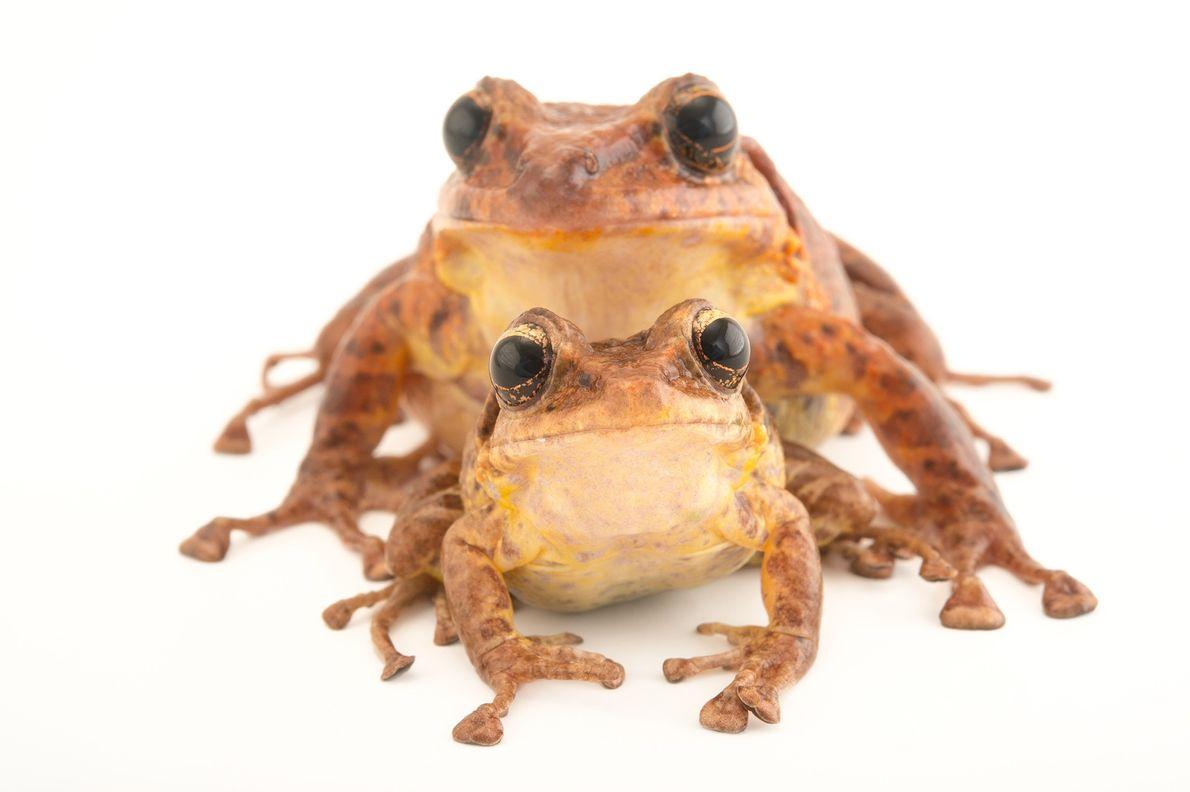 Estado de conservación: riesgo crítico Vista por última vez en libertad en el año 2009, la rana ...