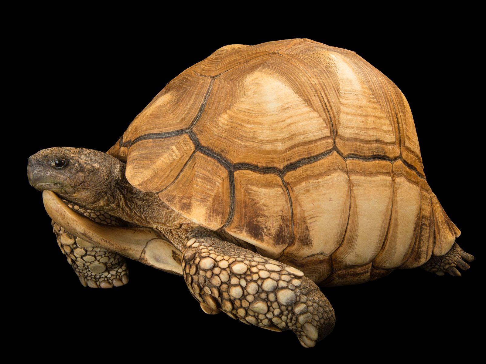 Estado de conservación: riesgo crítico Si bien está protegida por ley en Madagascar, la tortuga angonoka (Astrochelys ...