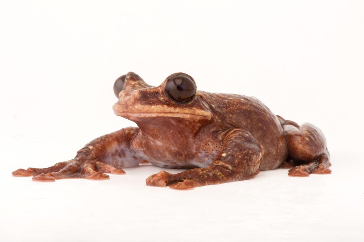 Estado de conservación: riesgo crítico Se cree que esta rana arborícola de Rabb (Ecnomiohyla rabborum) es el ...