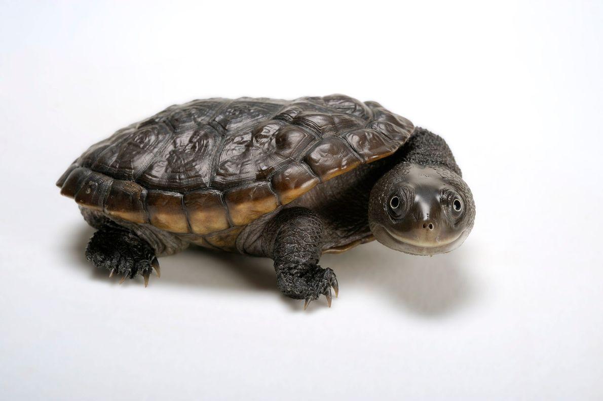 Estado de conservación: casi amenazada Habitante del río, la tortuga de cuello de serpiente de Reinmann (Chelodina ...