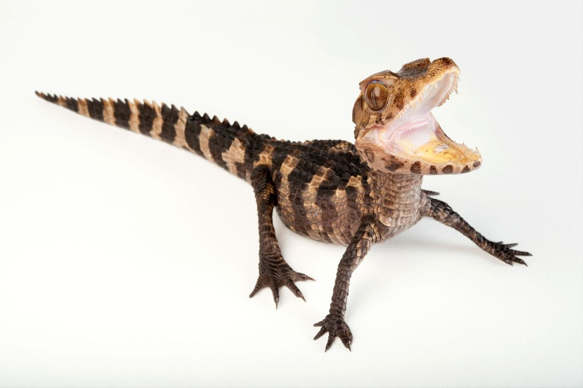 Estado de conservación: riesgo mínimo El yacaré enano (Paleosuchus palpebrosus) es el más pequeño de la familia ...