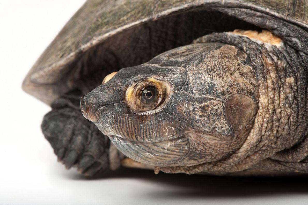Estado de conservación: riesgo crítico Una de las especies de tortugas en mayor peligro de extinción en ...