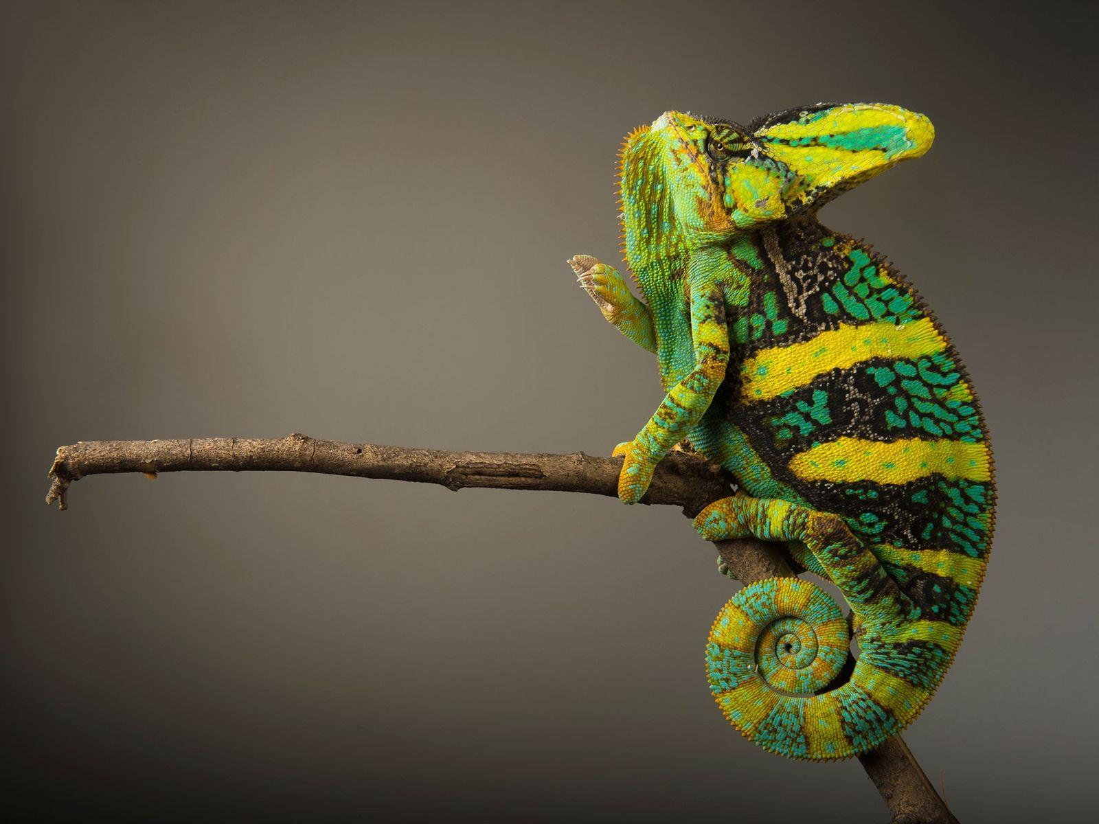 Estado de conservación: riesgo mínimo El brillante y colorido camaleón velado (Chamaeleo calyptratus) se queda quieto hasta ...