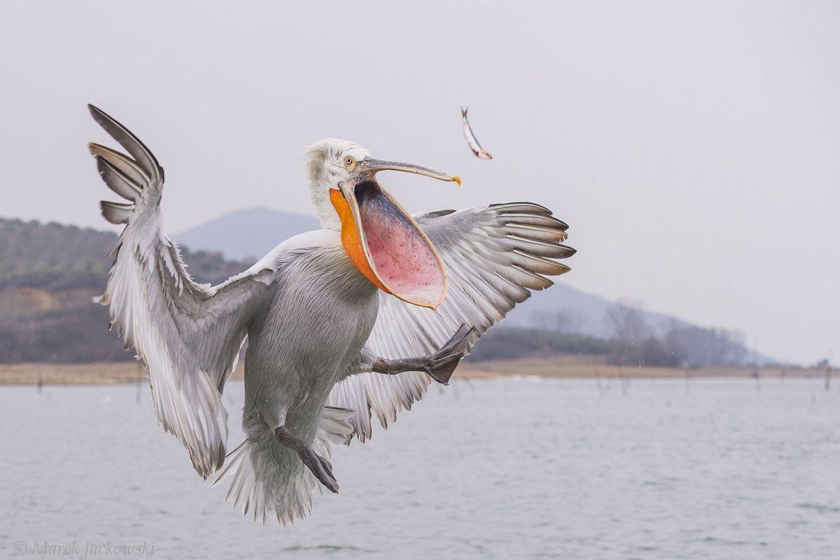 """""""Un pelícano ceñudo atrapa un pez arrojado por un pescador. En el invierno, los pescadores del ..."""