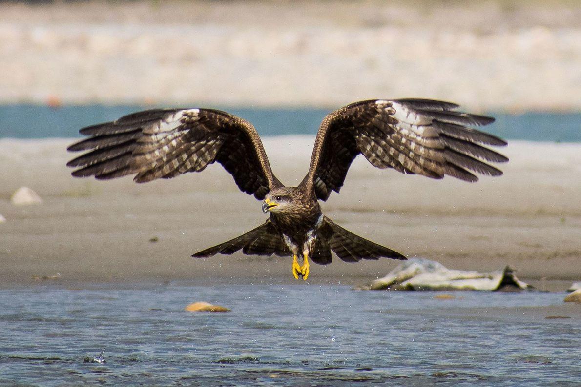 """""""Un águila india en pleno vuelo. Tuve que esperar un mes para sacar esta foto"""". – ..."""