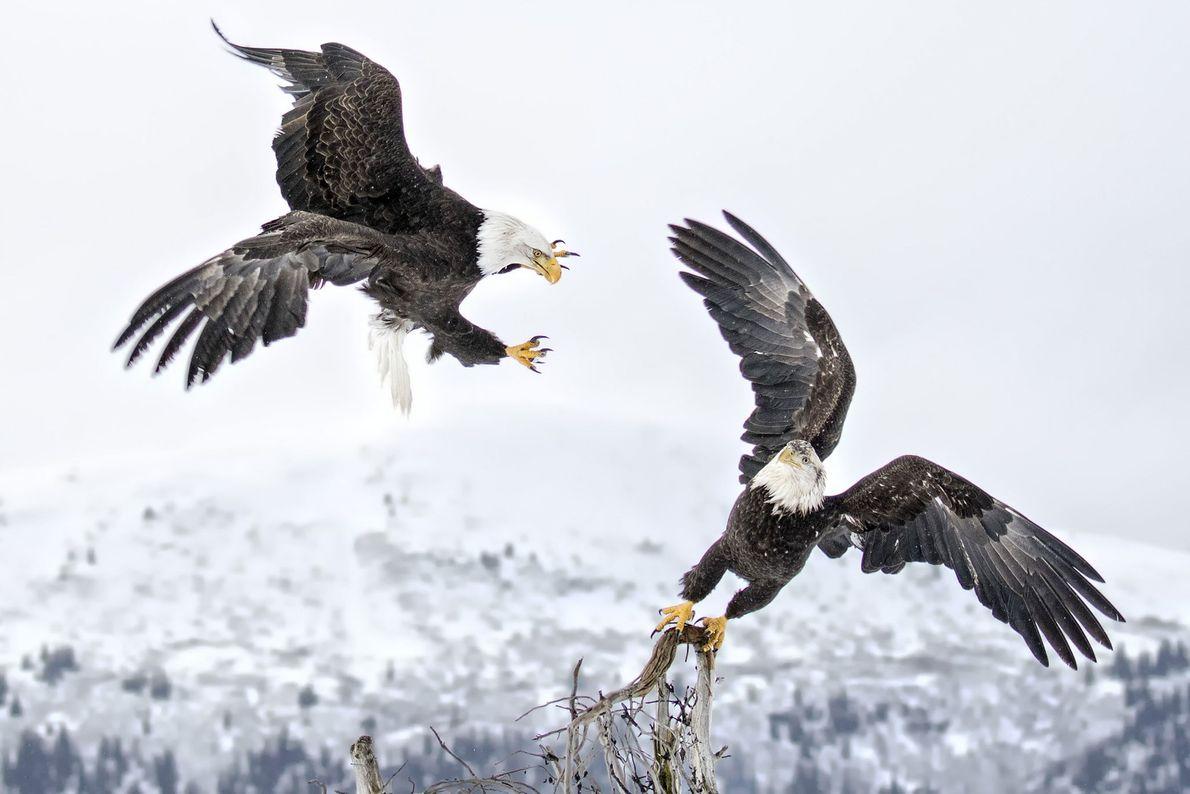 """""""Dos águilas calvas en Kachemak Bay, Alaska"""".– Ron Brown"""