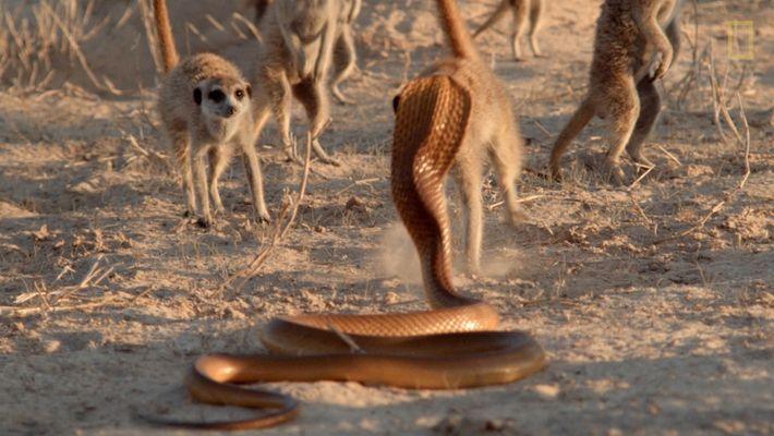 Los Animales más Peligrosos: Las mortíferas suricatas