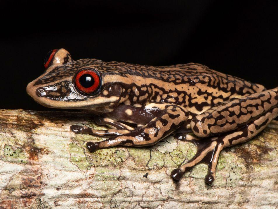 Amenazados de extinción, anfibios brasileños van a tener un banco de datos digitales
