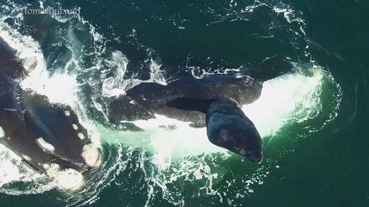 Ballenas francas australes captadas apareándose en Argentina
