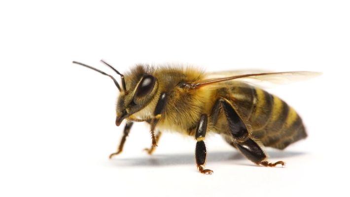 ¿Cómo saben las abejas qué trabajos hacer?