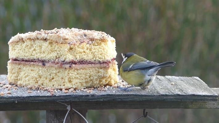 Aún sin una parte del pico, esta ave logra comer pastel