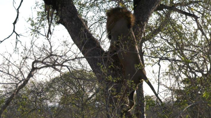 Un león sube a un árbol