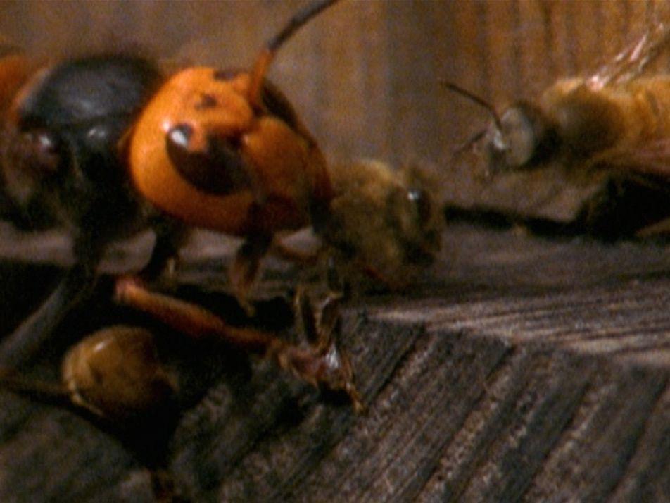 """Una pequeña tropa de """"avispones asesinos"""" extermina a casi 30.000 abejas"""