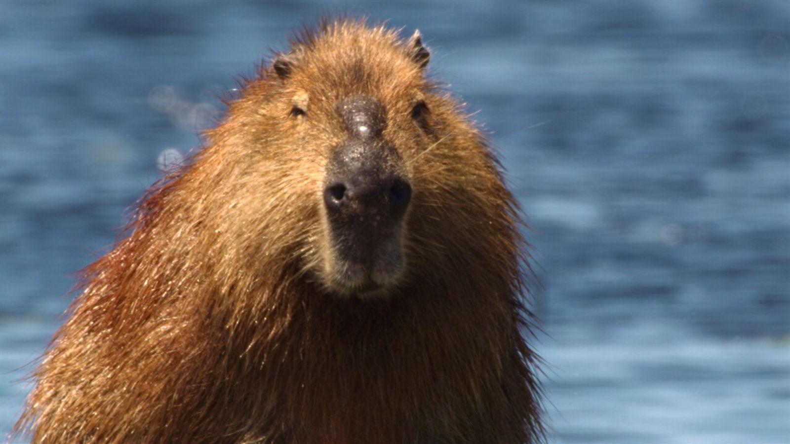 Los capibaras y los caimanes compiten por el espacio