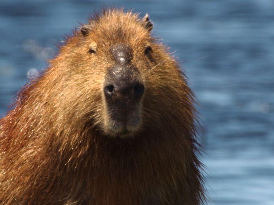 Los capibaras y los caimanes compiten por el espacio | Brasil Salvaje