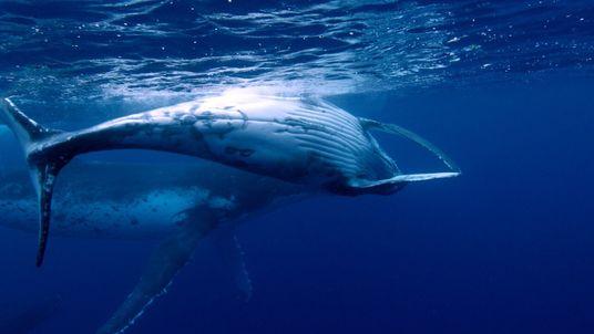 Esta ballena jorobada enseña a su pequeña cría a respirar fuera del agua   Brasil Salvaje