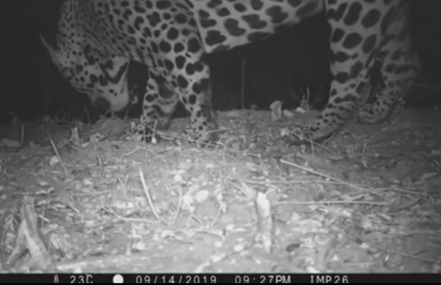 Captura de imagen del primer video que registra a un ejemplar de yaguareté en el Parque ...
