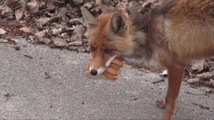 Un zorro en Chernóbil hace un sándwich de seis capas