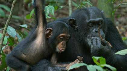 El líder del grupo adopta a un bebé chimpancé huérfano   Chimpancés
